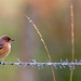 Redstart by lifeat60degrees