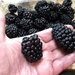Giant blackberries