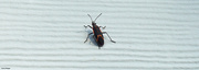 29th Sep 2021 - Boxelder insects