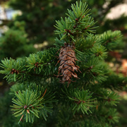 29th Sep 2021 - Young Pine