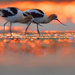A pair of American avocets at sunrise
