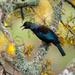 Tui in the Kowhai tree  by yorkshirekiwi