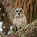 Barred owl by photographycrazy