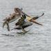 Pelicans by nicoleweg