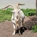 Billy Goat  by ludwigsdiana