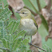 Migrating Tennessee Warbler by annepann