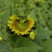 Sunflower Heart by cdonohoue