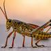 Eastern Lubber Grasshopper Taking a Stroll on the Sidewalk! by rickster549