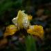 Miniature iris by maureenpp