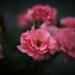 Roses by evgeniamsk