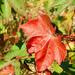 Autumn cotton leaves