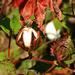 Cotton in autumn