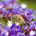 Back To The Bees..DSC_8116 by merrelyn