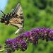 Eastern Tiger Swallowtail, alternate take [Travel day filler]