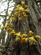 21st Sep 2021 - Leafless Bootlace orchids...