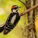 Downy Woodpecker!   by rickster549
