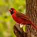 Mr Cardinal Keeping an Eye on Things! by rickster549