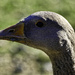 Young Graylag
