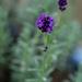 Lavender by cdonohoue