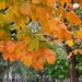 Sugar Maple by 365projectorgheatherb