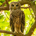 Barred Owl Keeping an Eye on Things! by rickster549