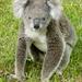 Koala For Katrina