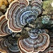 Polyporaceae fungi by congaree