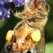 A bee's tongue by gilbertwood