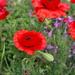 Poppy Season by ninaganci