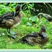 Juvenile Wigeons ?