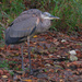great blue heron on the shore