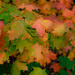 Maple Leaves by tosee