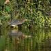 LHG_0220_ Little green heron by rontu