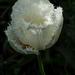 White tulip catching the light