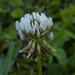 simply clover