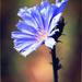 Cornflower Blue by juliedduncan