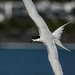 White fronted tern in flight