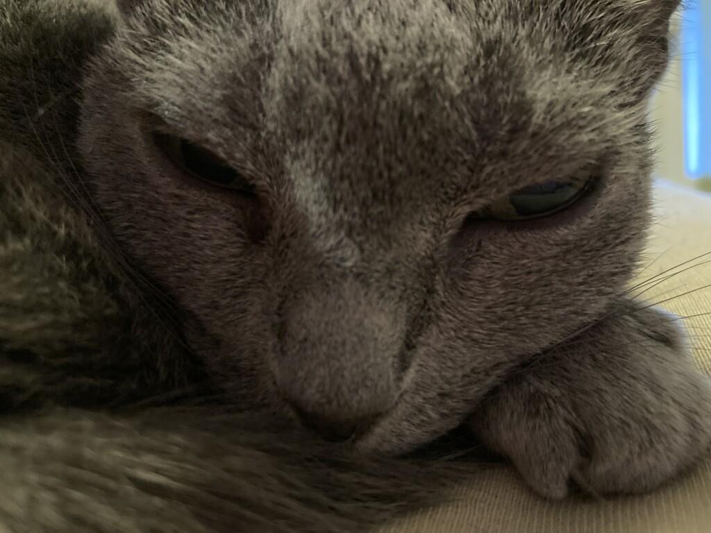 Sleepy Duchess  by katriak