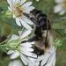 Bumblebee by annepann
