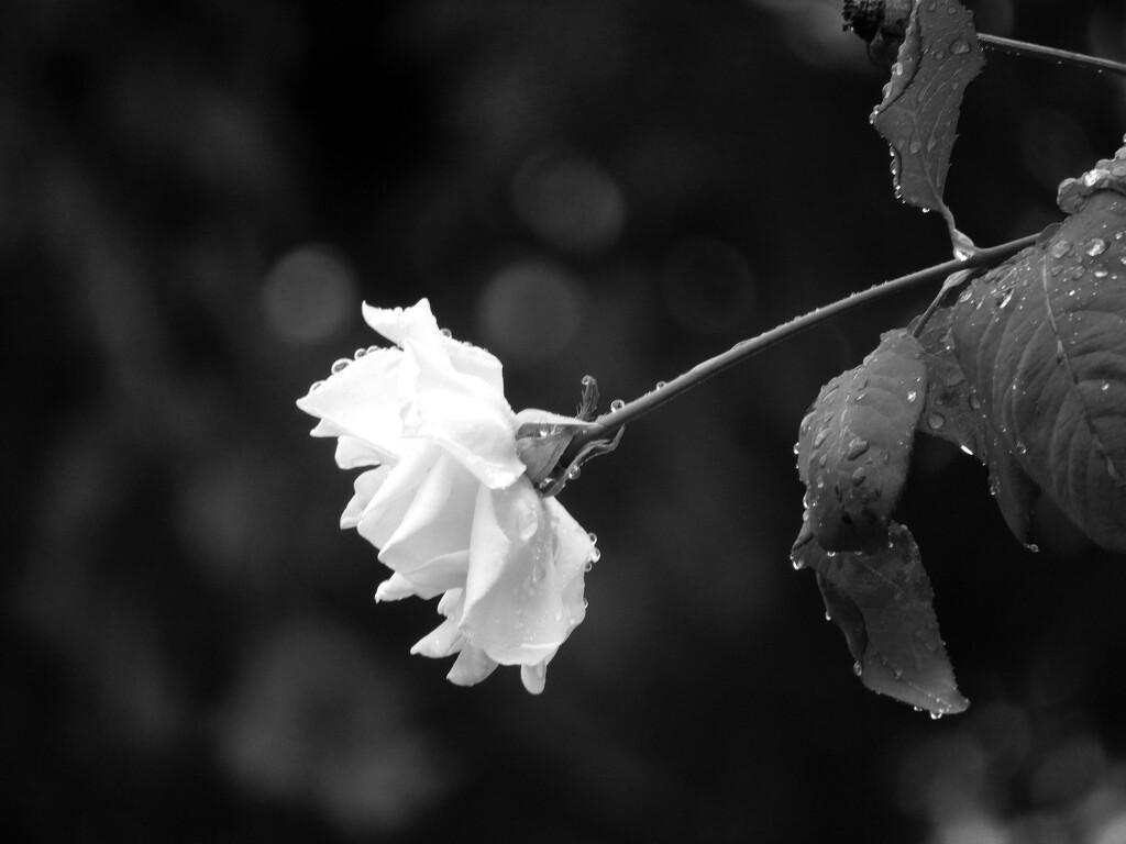 Teardrops on a Rose by homeschoolmom