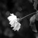 Teardrops on a Rose