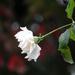 Autumn Rose Bokeh