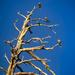 Dead Tree - Show Low, AZ