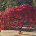 Our Beautiful Sumac Tree