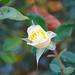 Rose 10 11 2021