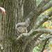Squirrel in Blackgum Tree