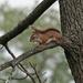 Red Squirrel by annepann