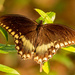Faded Out Palamedes Swallowtail Butterfly!