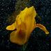 Dutch iris in the rain