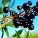 Autumn berries 9: Wild Privet